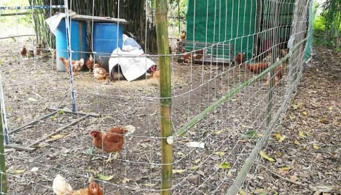 ตัวอย่างที่ 1 การใช้งานรั้วล้อมไก่